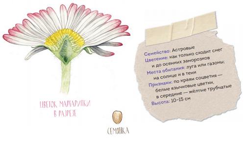 Цветы и семена в разрезе